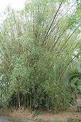 Buddha's Belly Bamboo (Bambusa ventricosa) at Roger's Gardens