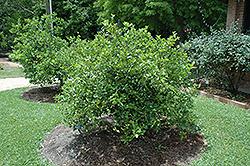 Meyer Dwarf Lemon (Citrus x meyeri 'Meyer Dwarf') at Roger's Gardens