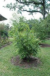 Pomegranate (Punica granatum) at Roger's Gardens