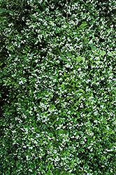 Confederate Star-Jasmine (Trachelospermum jasminoides) at Roger's Gardens