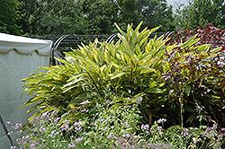 Variegated Shell Ginger (Alpinia zerumbet 'Variegata') at Roger's Gardens
