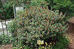 Firecracker Plant (Cuphea ignea) at Roger's Gardens