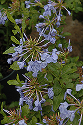 Imperial Blue Plumbago (Plumbago auriculata 'Imperial Blue') at Roger's Gardens