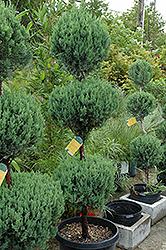 Blue Point Juniper (Juniperus chinensis 'Blue Point') at Roger's Gardens
