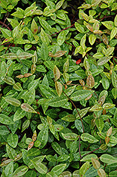 Asian Jasmine (Trachelospermum asiaticum) at Roger's Gardens