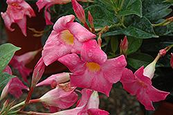 Sun Parasol Pink Mandevilla (Mandevilla 'Sun Parasol Pink') at Roger's Gardens