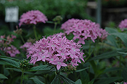 Orchid Illusion Star Flower (Pentas lanceolata 'Orchid Illusion') at Roger's Gardens