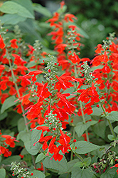 Lady In Red Sage (Salvia coccinea 'Lady In Red') at Roger's Gardens