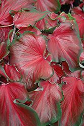 Red Frill Caladium (Caladium 'Red Frill') at Roger's Gardens