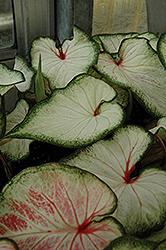White Wonder Caladium (Caladium 'White Wonder') at Roger's Gardens