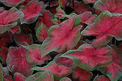 Postman Joyner Caladium (Caladium 'Postman Joyner') at Roger's Gardens