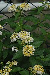Alba Lantana (Lantana montevidensis 'Alba') at Roger's Gardens