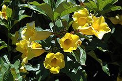 Golden Trumpet (Allamanda cathartica) at Roger's Gardens