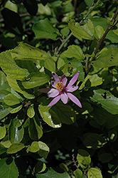 Lavender Star Flower (Grewia caffra) at Roger's Gardens