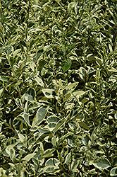 Variegated Japanese Privet (Ligustrum japonicum 'Variegatum') at Roger's Gardens
