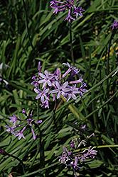 Society Garlic (Tulbaghia violacea) at Roger's Gardens