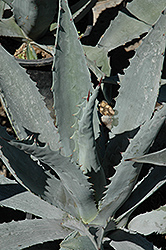 Century Plant (Agave americana) at Roger's Gardens