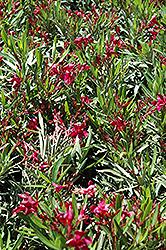 Dwarf Red Oleander (Nerium oleander 'Dwarf Red') at Roger's Gardens