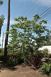 Silk Floss Tree (Chorisia speciosa) at Roger's Gardens