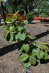 Roxburgh Fig (Ficus auriculata) at Roger's Gardens
