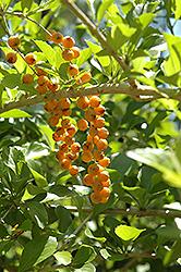 Golden Dewdrop (Duranta erecta) at Roger's Gardens