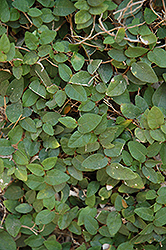 Creeping Fig (Ficus pumila) at Roger's Gardens