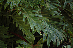 Xanadu Philodendron (Philodendron 'Winterbourn') at Roger's Gardens