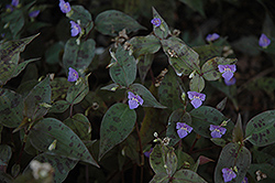 Spotted Wandering Jew (Tinantia pringlei) at Roger's Gardens
