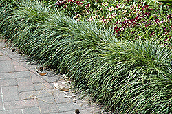 Snake's Beard (Ophiopogon japonicus) at Roger's Gardens