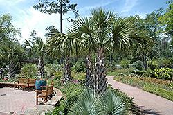 Texas Palmetto (Sabal mexicana) at Roger's Gardens