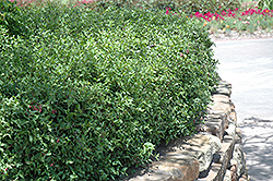 Acerola (Malpighia emarginata) at Roger's Gardens
