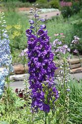 Magic Fountains Purple Larkspur (Delphinium 'Magic Fountains Purple') at Roger's Gardens