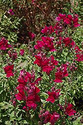 Solstice Burgundy Snapdragon (Antirrhinum majus 'Solstice Burgundy') at Roger's Gardens