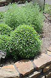 Mexican Tarragon (Tagetes lucida) at Roger's Gardens