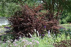 Plum Delight Chinese Fringeflower (Loropetalum chinense 'Plum Delight') at Roger's Gardens