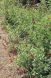Furman's Red Texas Sage (Salvia greggii 'Furman's Red') at Roger's Gardens
