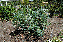 Icee Blue Yellowwood (Podocarpus elongatus 'Monmal') at Roger's Gardens