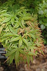 Sharp's Pygmy Japanese Maple (Acer palmatum 'Sharp's Pygmy') at Roger's Gardens