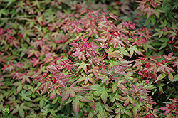 Beni Hime Japanese Maple (Acer palmatum 'Beni Hime') at Roger's Gardens