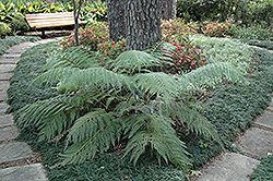 Oriental Chain Fern (Woodwardia orientalis) at Roger's Gardens