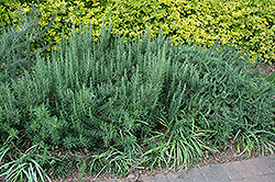 Gorizia Rosemary (Rosmarinus officinalis 'Gorizia') at Roger's Gardens