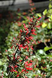 Broadleaf Firecracker Plant (Russelia sarmentosa) at Roger's Gardens