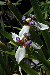 Walking Iris (Neomarica gracilis) at Roger's Gardens