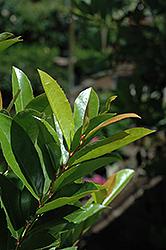 Compact Cherry Laurel (Prunus caroliniana 'Compacta') at Roger's Gardens