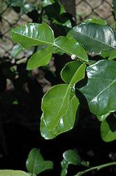 Kaffir Lime (Citrus hystrix) at Roger's Gardens