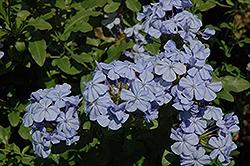 Dark Blue Plumbago (Plumbago auriculata 'Dark Blue') at Roger's Gardens