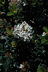 Snow White Indian Hawthorn (Rhaphiolepis indica 'Snow White') at Roger's Gardens