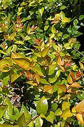 Funshine Abelia (Abelia x grandiflora 'Minacaral') at Roger's Gardens