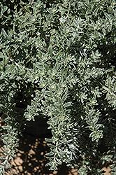 Smokey Coast Rosemary (Westringia fruticosa 'Smokey') at Roger's Gardens