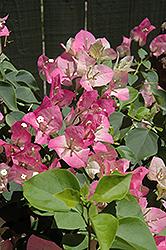 Yani's Delight Bougainvillea (Bougainvillea 'Yani's Delight') at Roger's Gardens